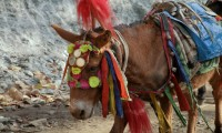 Donkey/ muel Nepali mountain transport